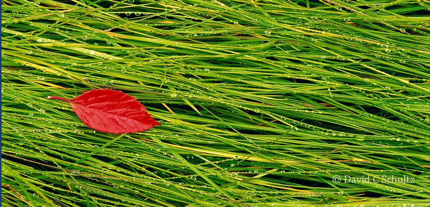 Alaska, red leaf on dew covered grass - Image #3-4148
