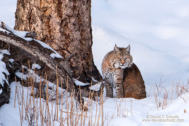 161-3797-yellowstone-national-park-bobcat