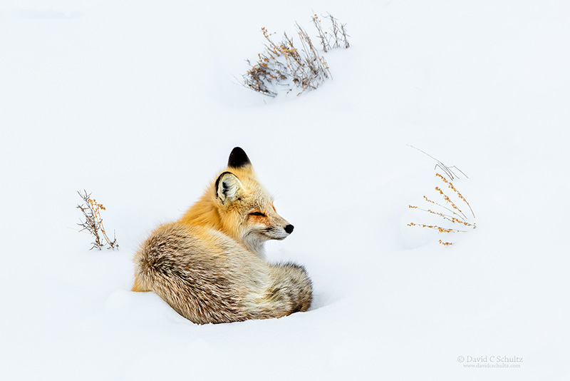 red-fox-yellowstone-161-9006b