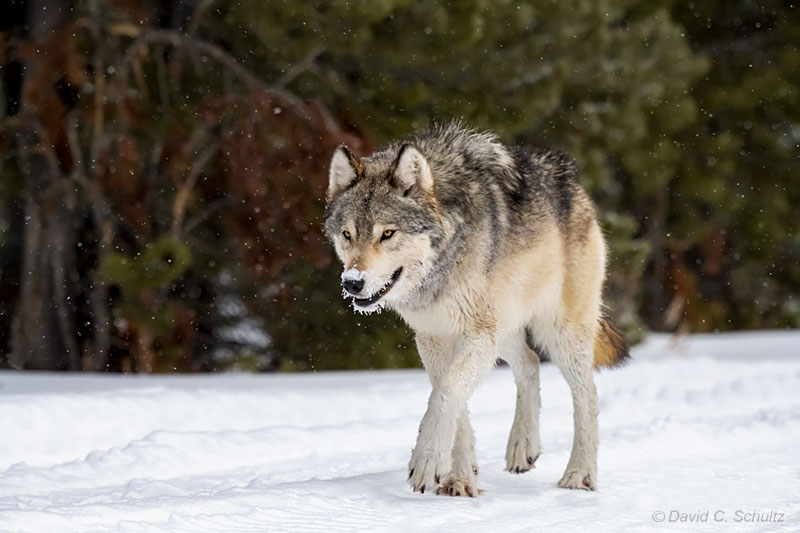 Wolf in the winter in Yellowstone - Image #161-10871