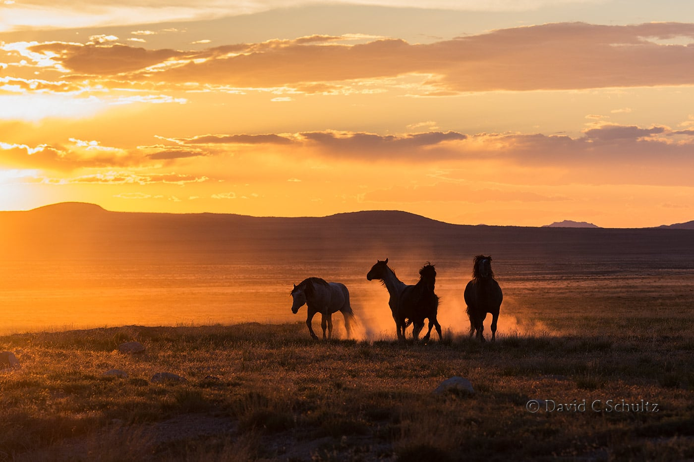 Wild horses at sunset- Image #47-2413