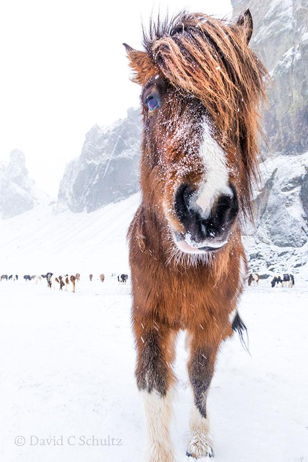 Winter and Icelandic Horse - Image #47-2895