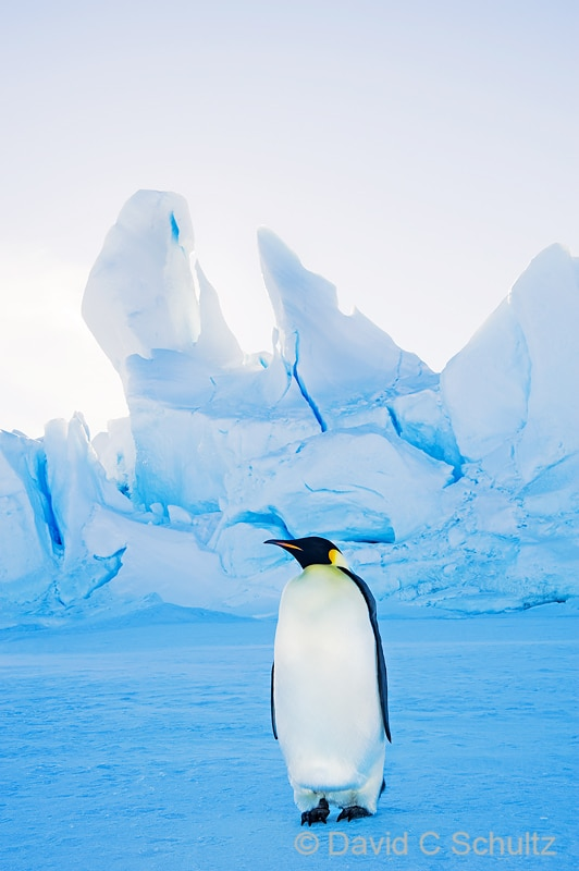 Emperor penguins near Snow Hill Island, Antarctica - Image #163-1236