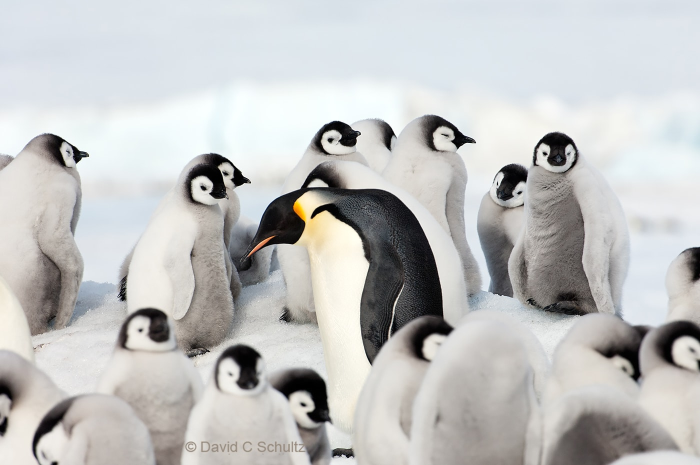 Emperor penguins near Snow Hill Island, Antarctica - Image #163-1309