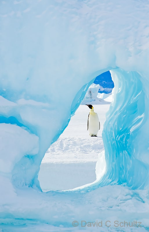 Emperor penguins near Snow Hill Island, Antarctica - Image #163-1447