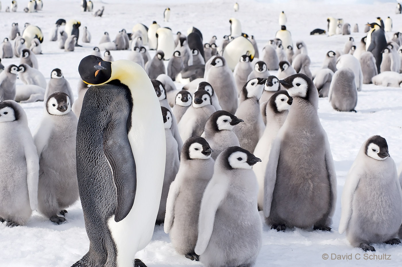 Emperor penguins near Snow Hill Island, Antarctica - Image #163-1454