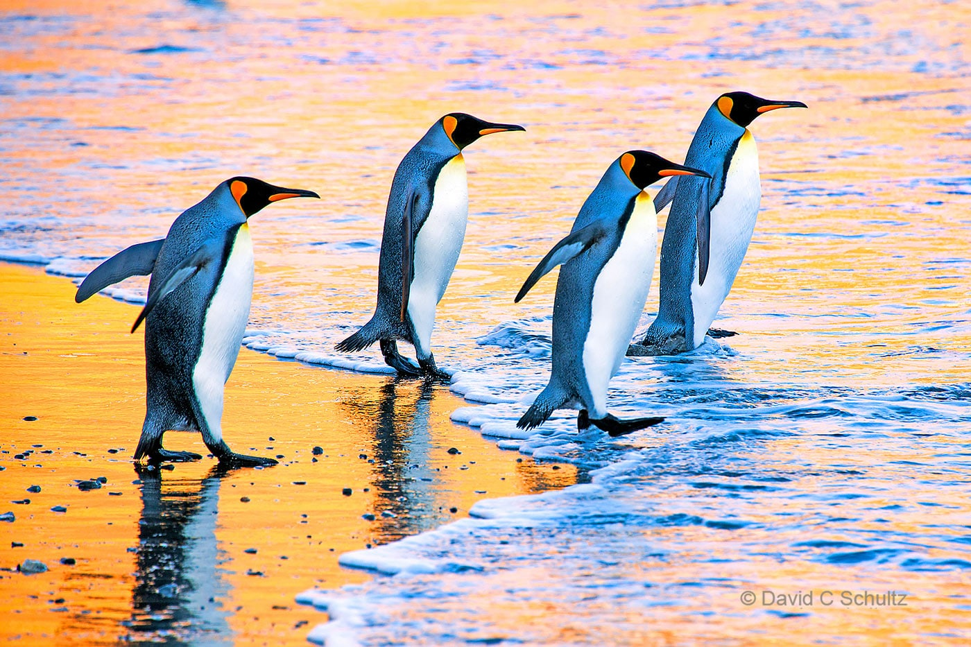 King penguins on South Georgia Island - Image #163-1553