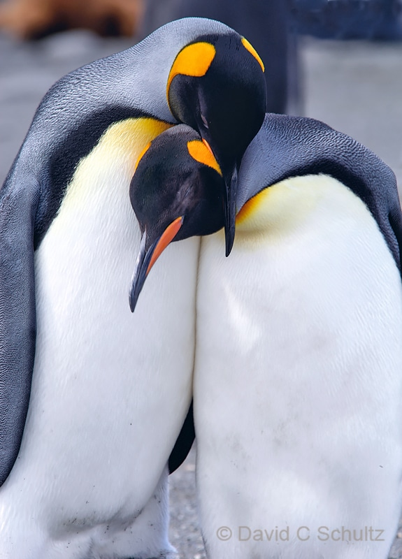 King penguins on South Georgia Island - Image #163-372