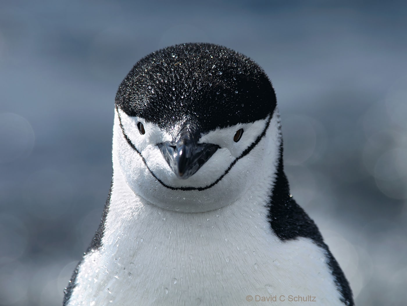 Chinstrap penguin in Antarctica - Image #163-618