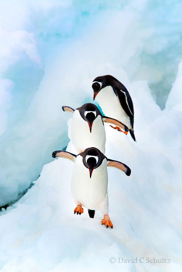 Gentoo penguins in Antarctica - Image #163-1936
