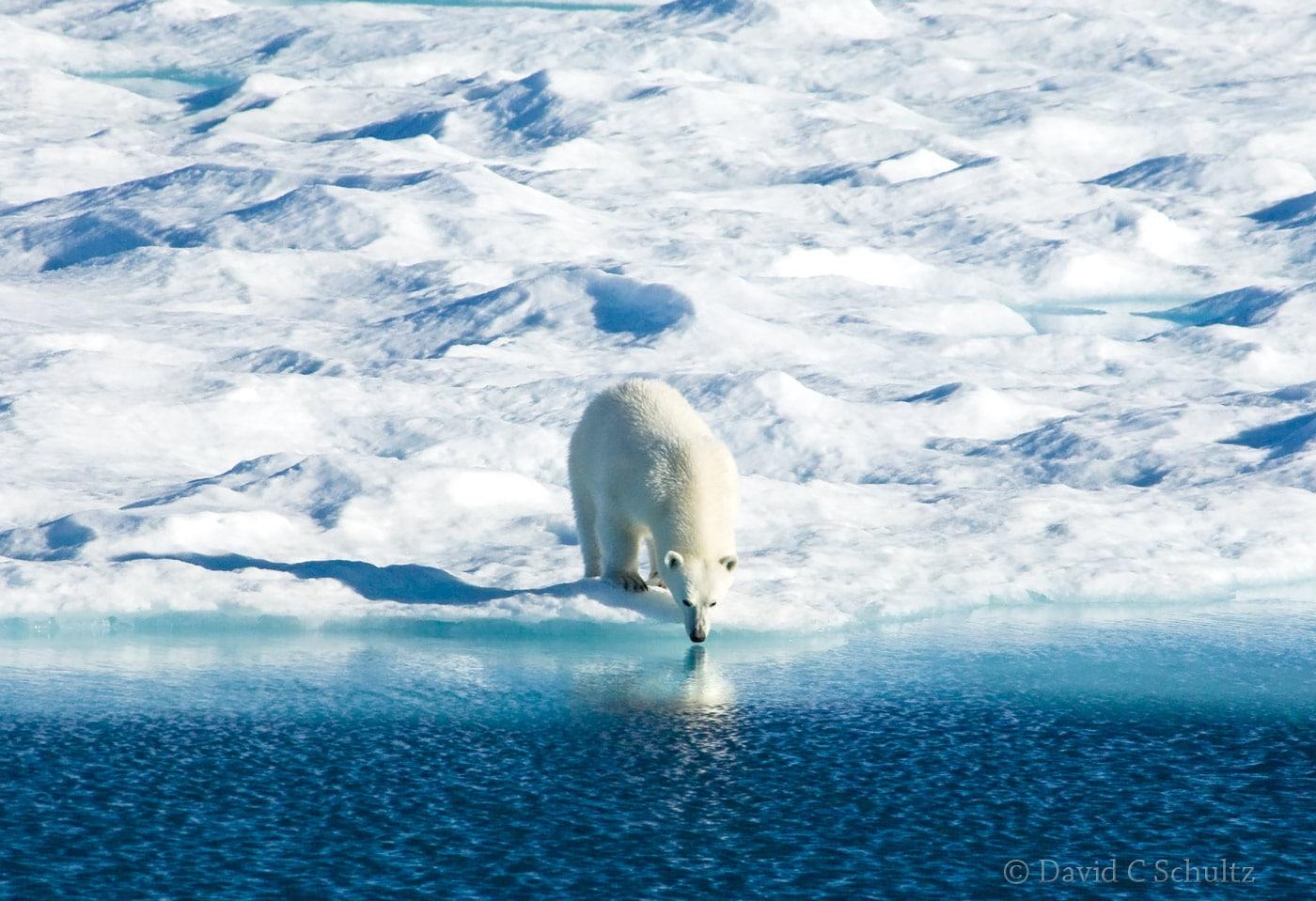 Polar bear, Canada - Image #168-1350
