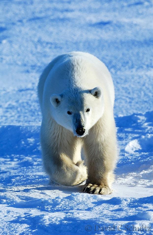 Polar bear, Canada - Image #168-341