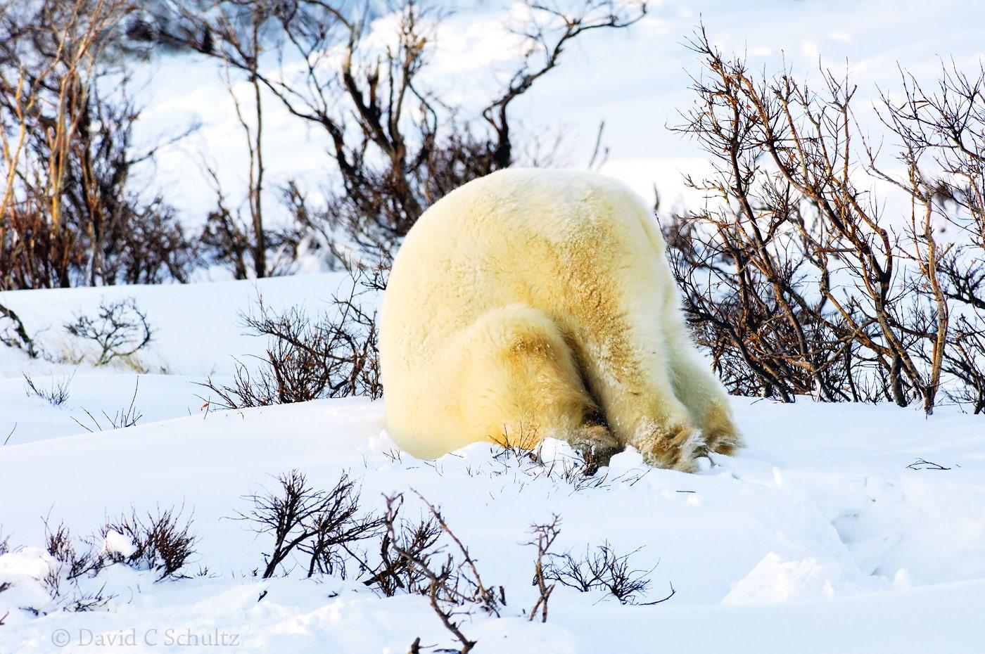 Polar bear, Canada - Image #168-508