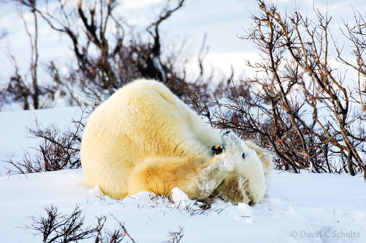 Polar bear, Canada - Image #168-513