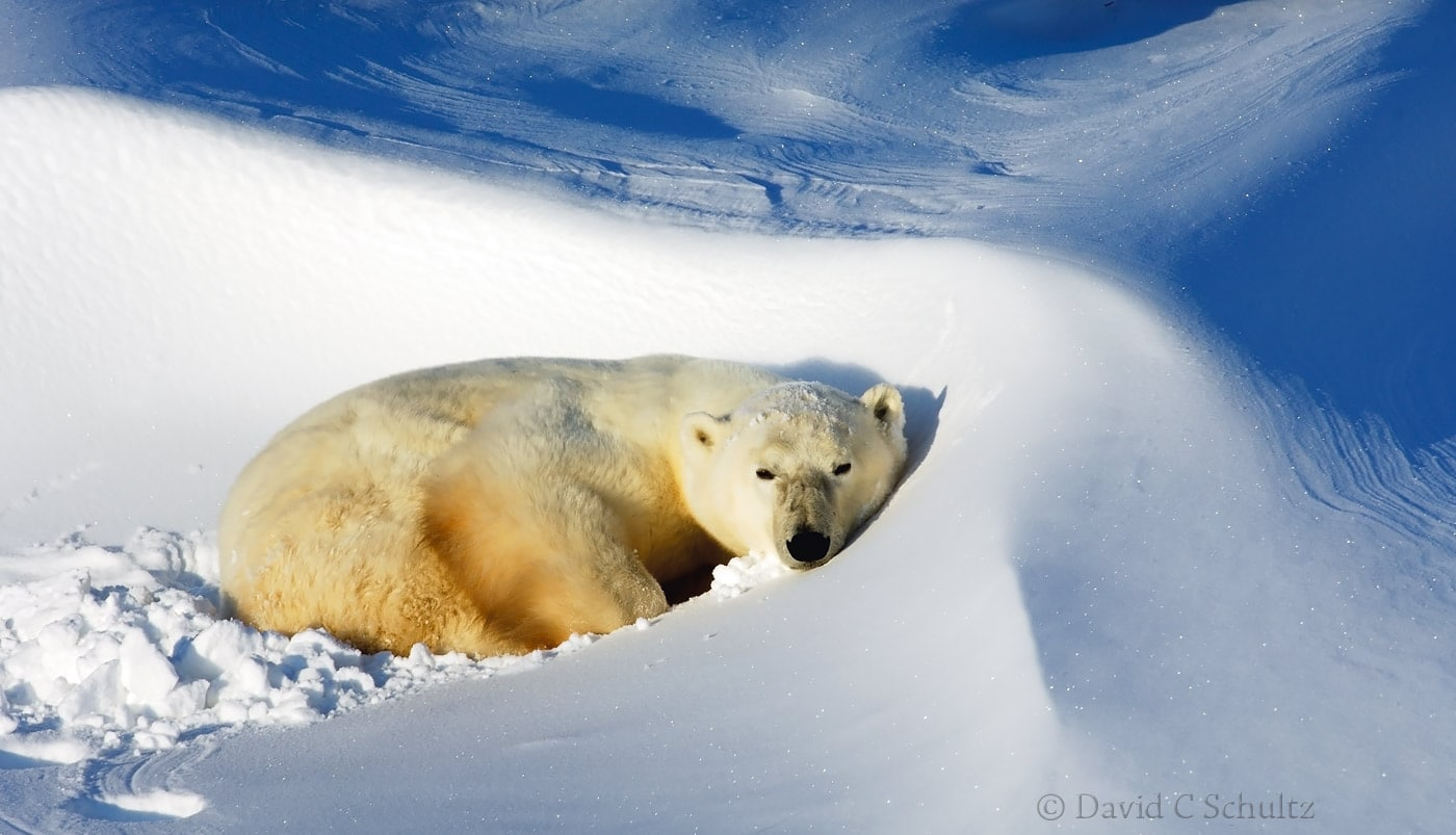 Polar bear, Canada - Image #168-550