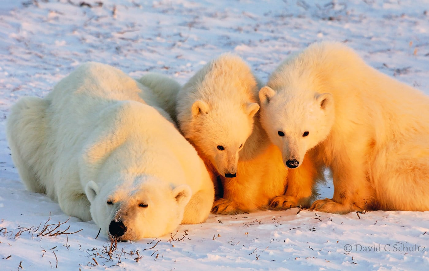 Polar bear cubs, Canada - Image #168-884