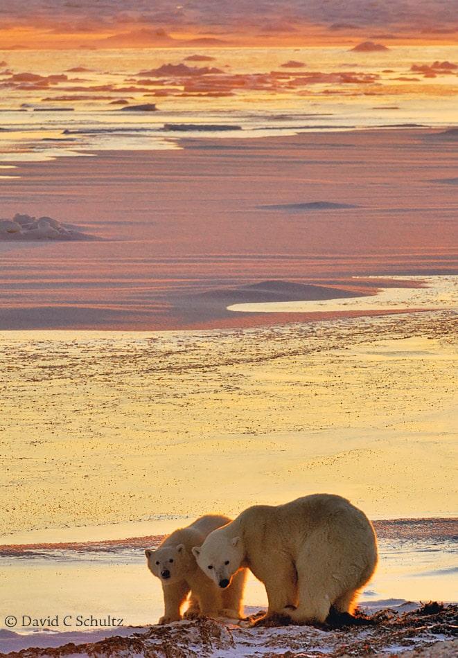 Polar bear, Canada - Image #168-906