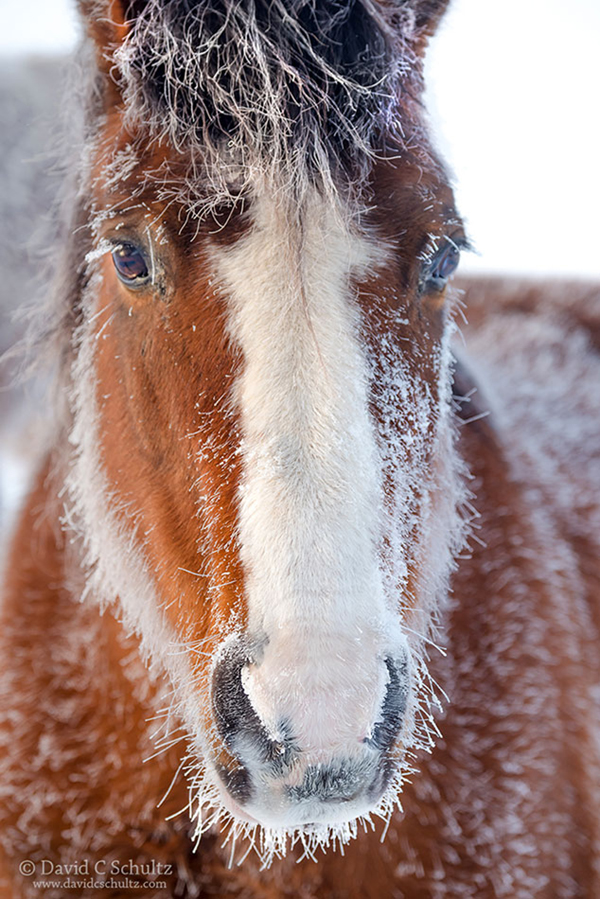 Frost coated horse in the Heber Valley, Utah - Image #47-3094