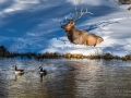 Bull elk and Canada Geese - Image #161-664