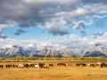 Horses and Grand Teton National Park - Image #44-4583