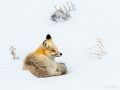 Red fox in Yellowstone National Park - Image #161-9006