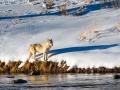 Wapiti Pack Wolf, Yellowstone - Image #161-6708