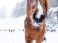 Winter and Icelandic Horse - Image #47-2895