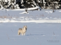 Wolf in Yellowstone - Image #161-6375