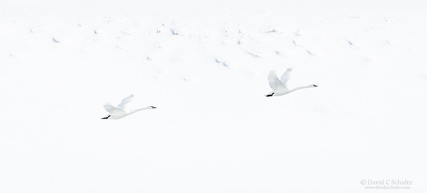Trumpeter swans - Image#12-3593