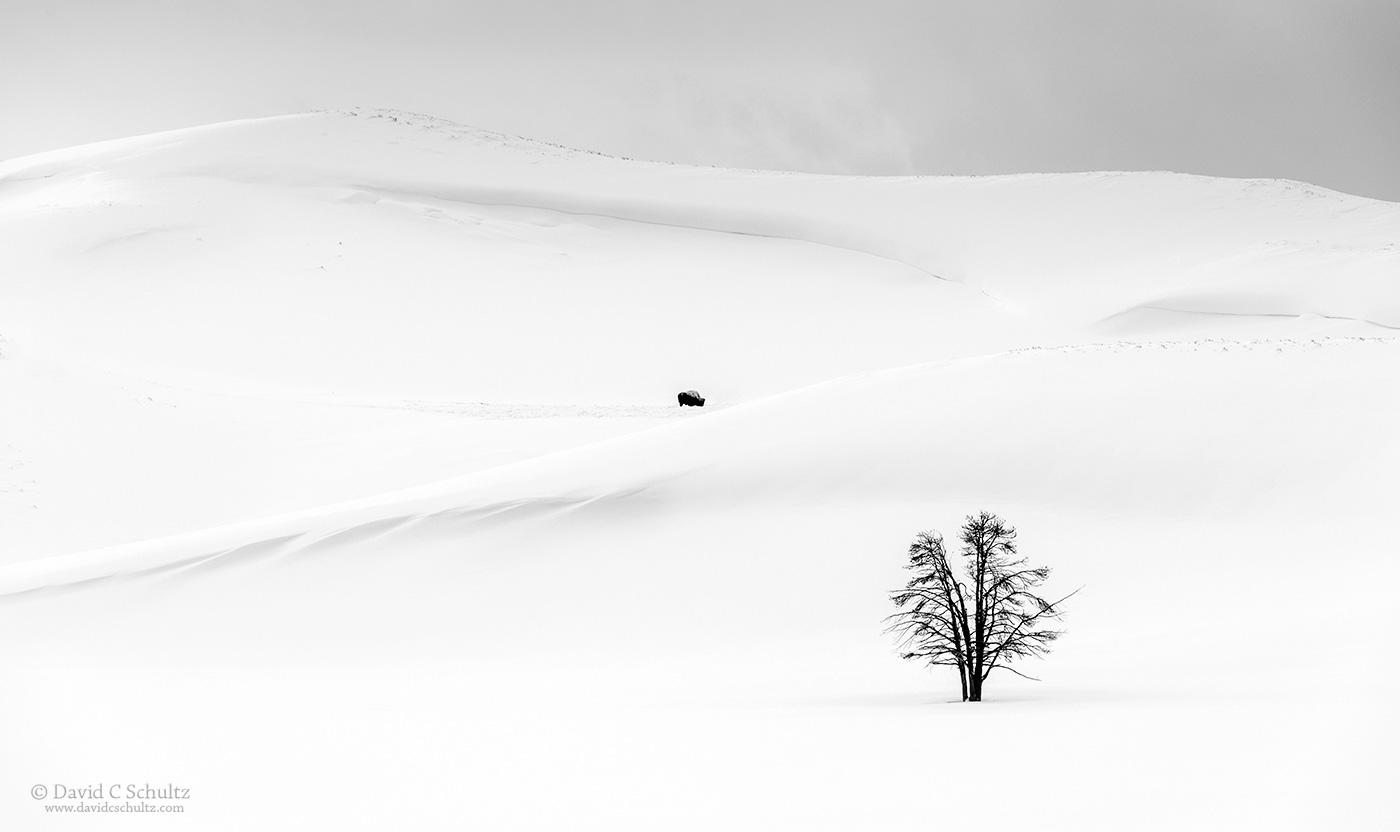 Lone bison Hayden Valley Yellowstone - Image #106-4597