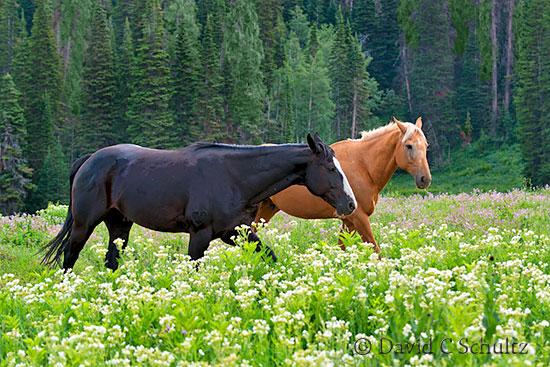 Horses in wildflowers in the Uinta Mountains, Utah