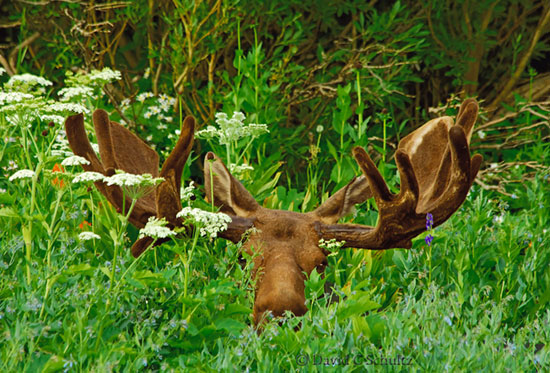 Bull moose in wildflowers in Albion Basin, Little Cottonwood Canyon, Utah