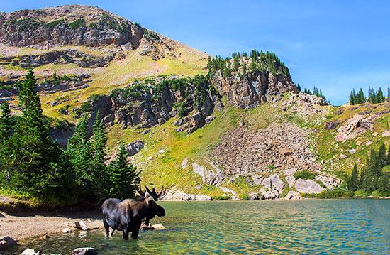 Bull moose in Cecret Lake at Albion Basin, Utah