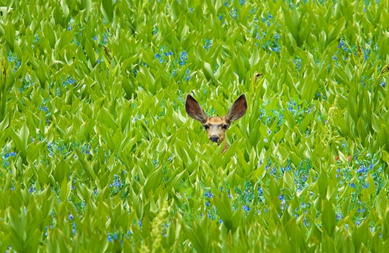 Mule Deer in the Uinta Mountains, Utah