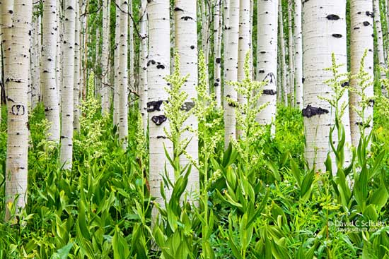 Aspen trees and wildflowers in the Wasatch Mountains, Utah