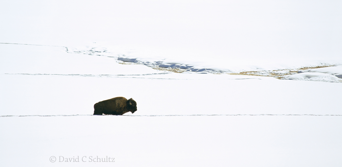 Bison in Yellowstone - Image #106-1381