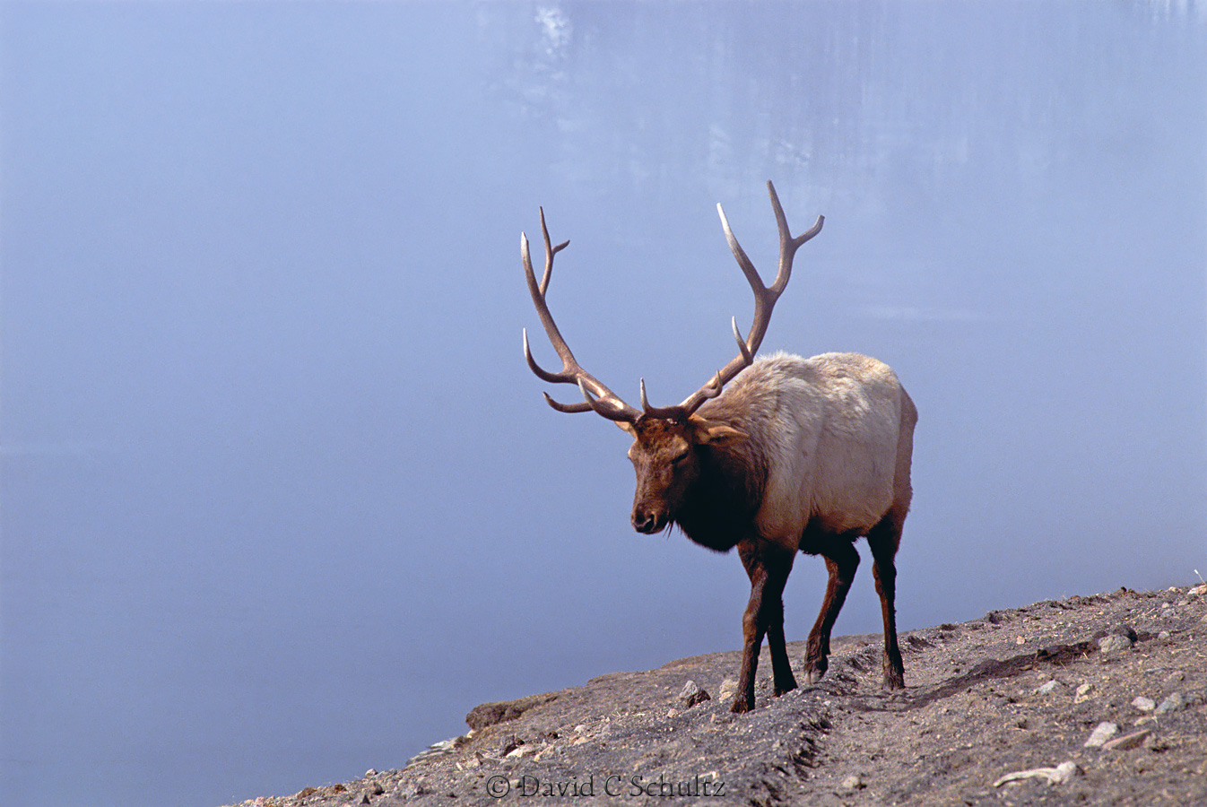 Bull elk in Yellowstone - Image #106-582