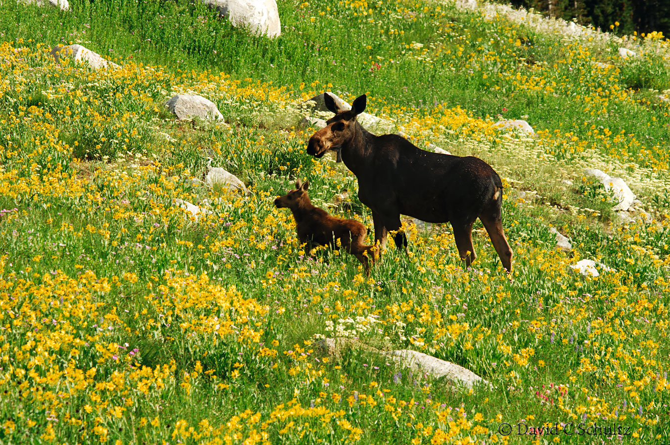 Moose in wildflowers, Alta, Utah - Image #161-182
