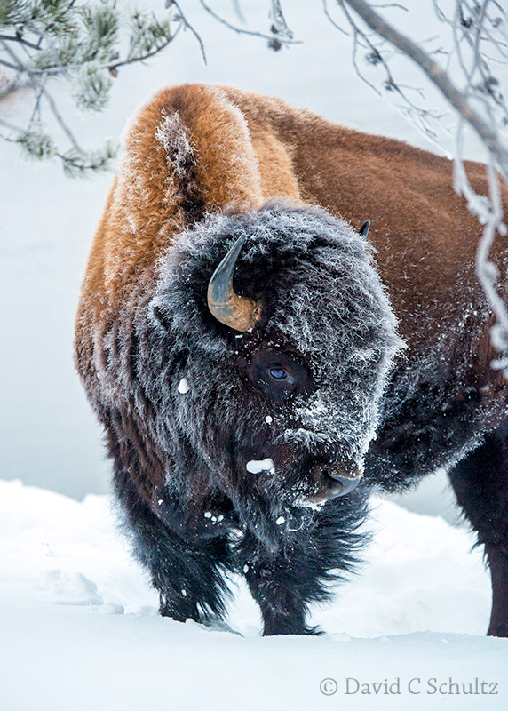 Bison in Yellowstone - Image #161-2048