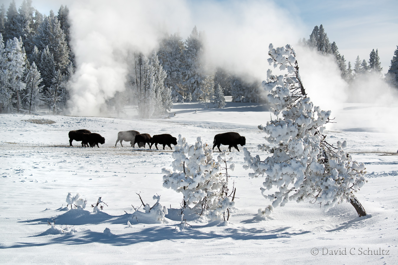 Bison and geysers in Yellowstone - Image #161-2201