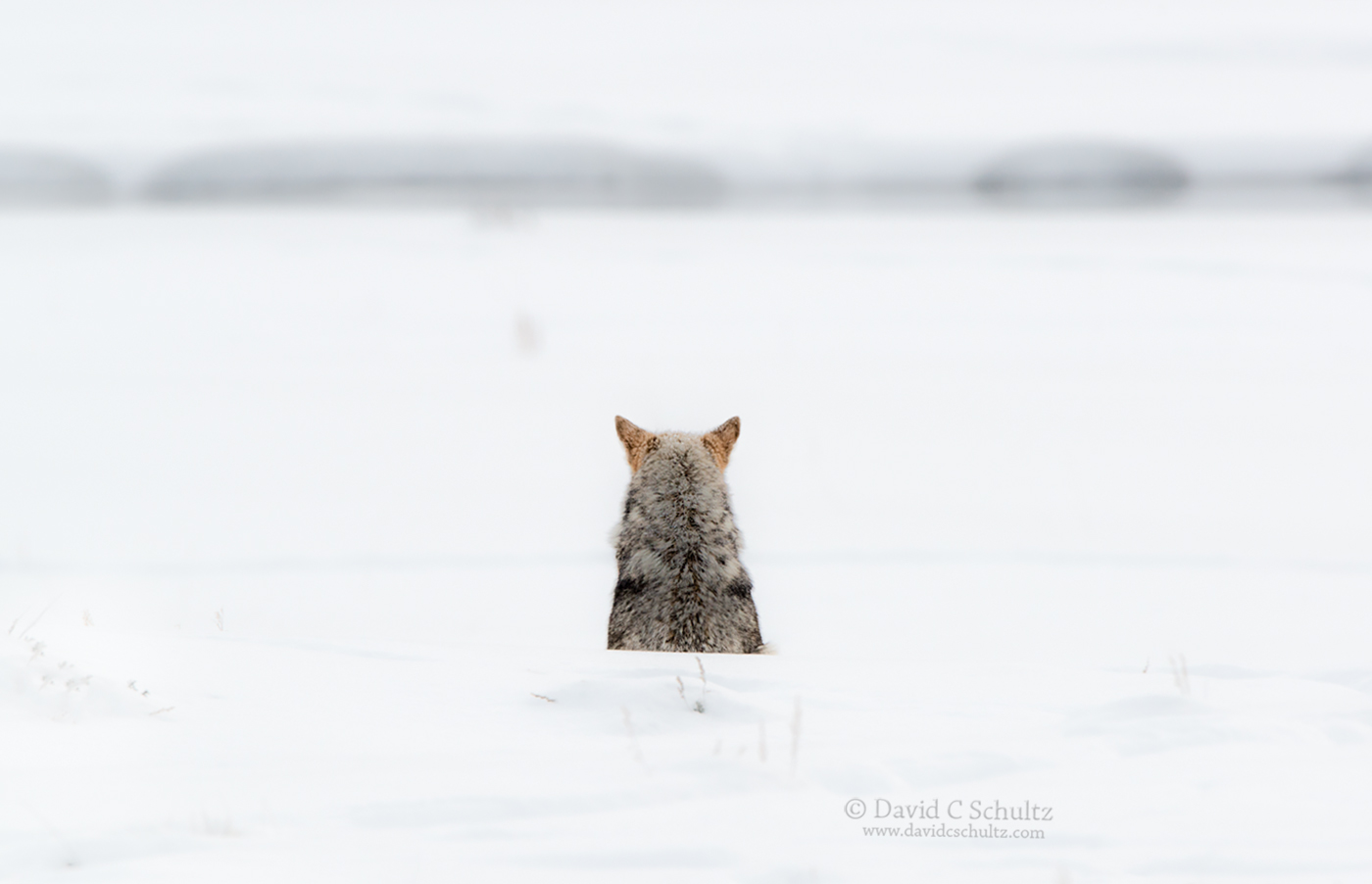 Coyote in Yellowstone - Image #161-3120