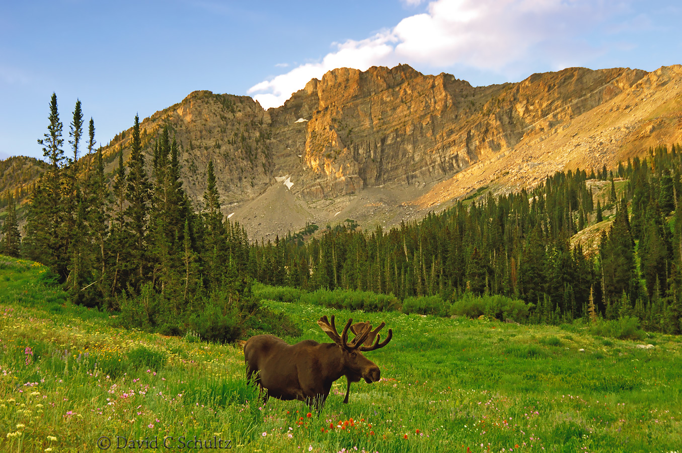 Bull moose at Albion Basin, Utah - Image #161-339