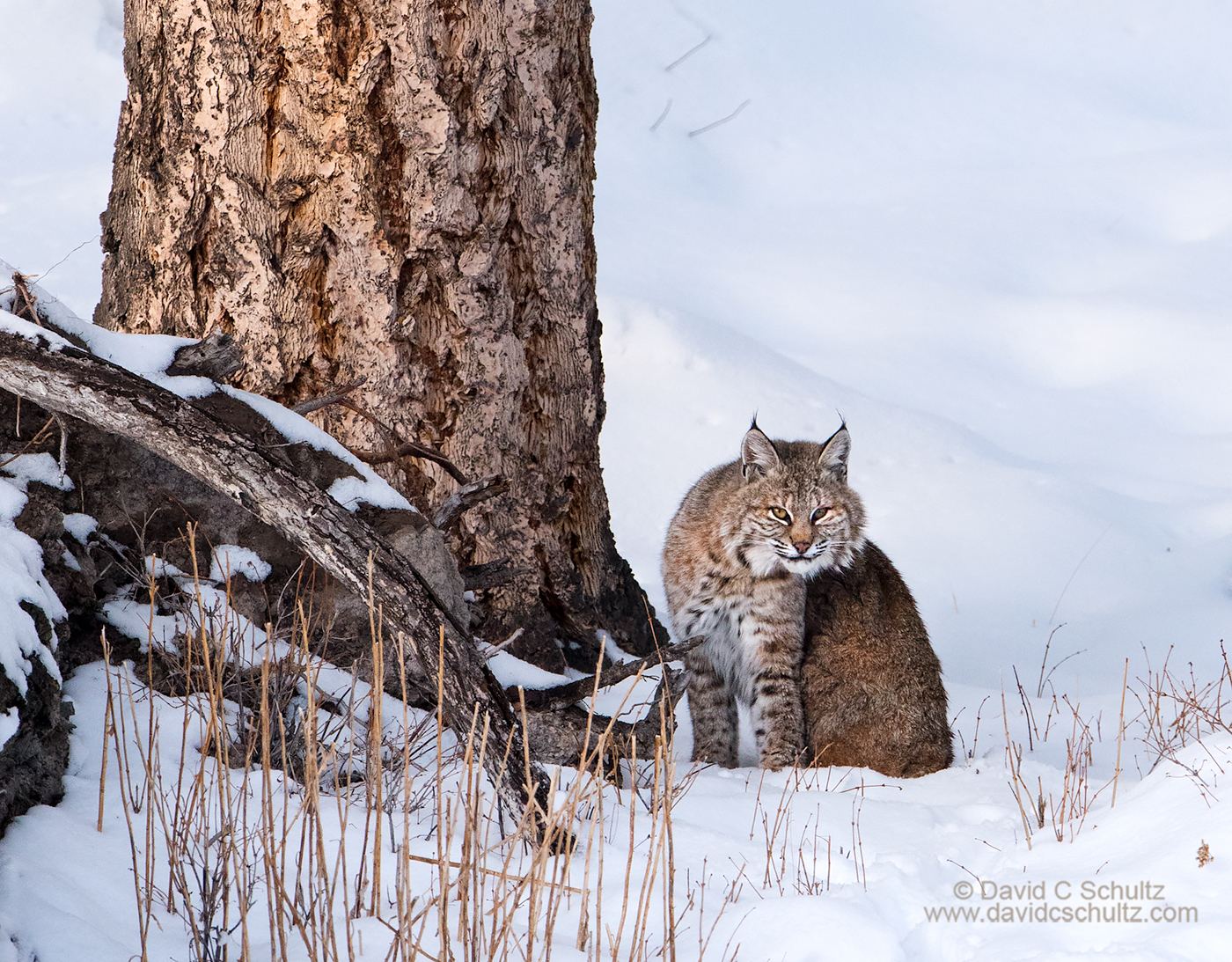 Bobcat during the winter, Yellowstone - Image #161-3797