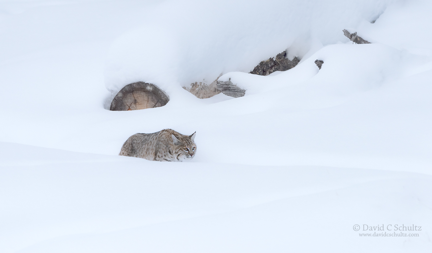 Bobcat in Yellowstone - Image #161-4042