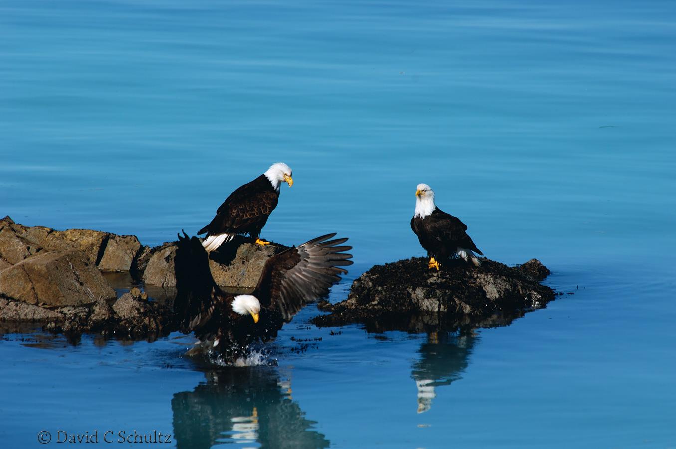 Bald eagle, Sitka, Alaska - Image #175-430