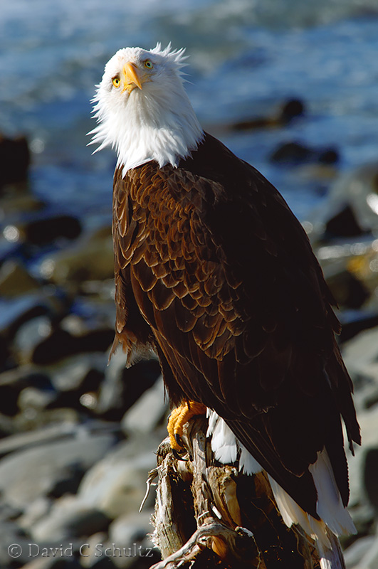 Bald eagle - Image #175-528
