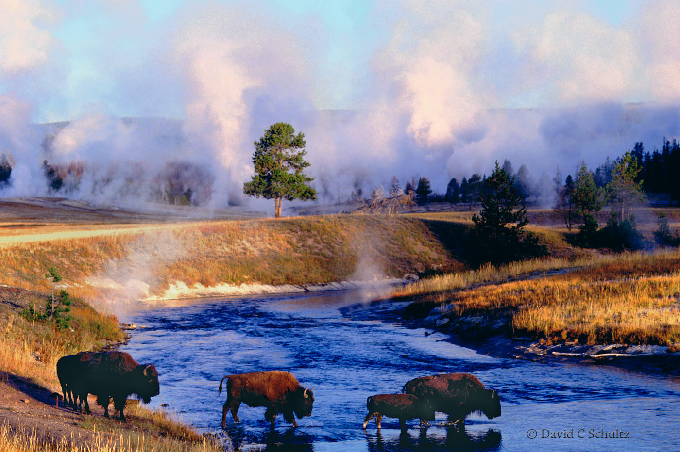 Bison in Yellowstone National Park - Image #106-170