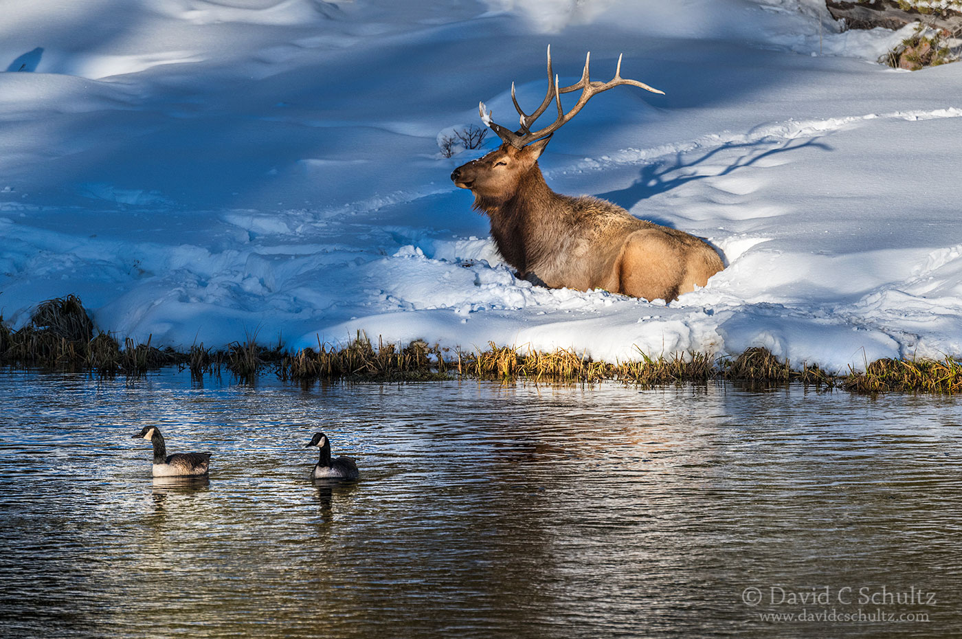Bull elk and Canada Geese - Image#161-664