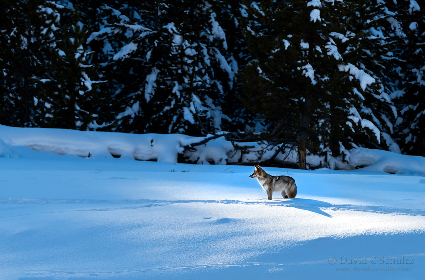 Coyote in Yellowstone - Image #161-6660