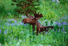 Bull moose at Albion Basin Utah - Image #161-64
